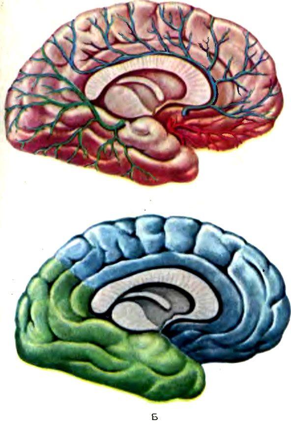 vascularizației arteriale emisfere cerebrale medii