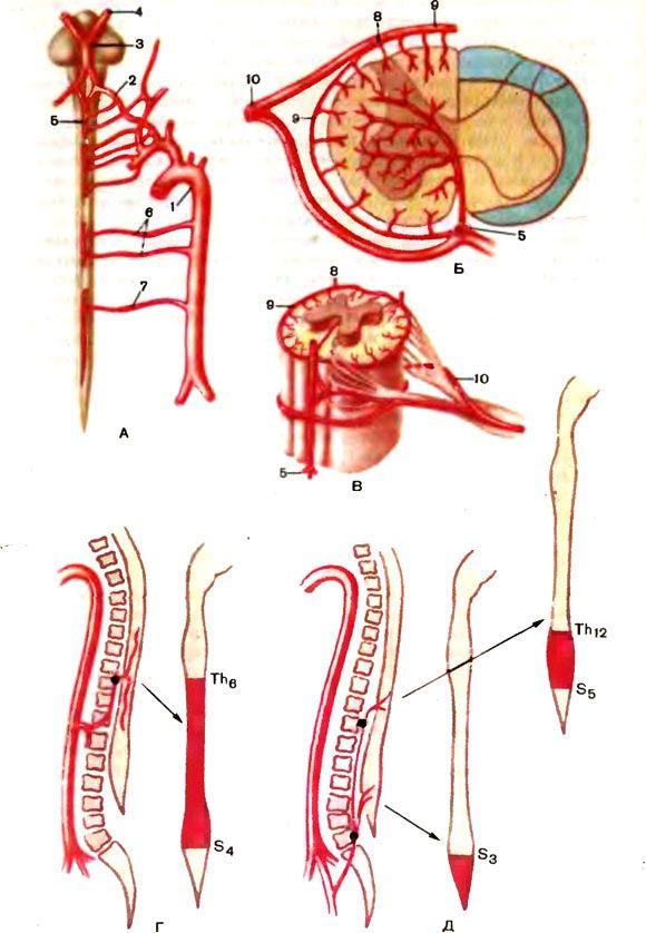 alimentare cu sânge ale măduvei spinării