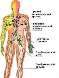 Лимфатическая система