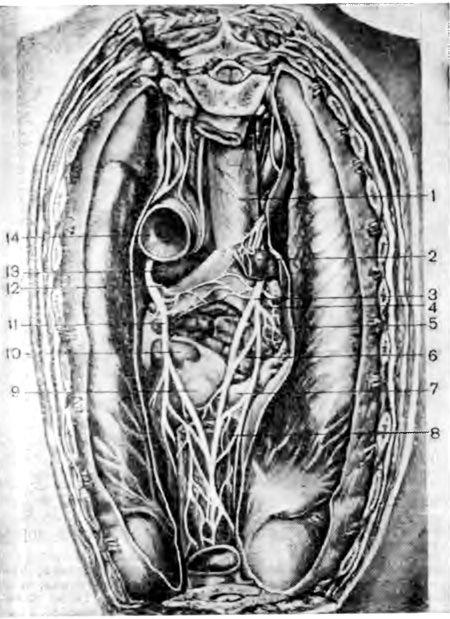 relație Topografoanatomicheskie între suprafața posterioară a inimii