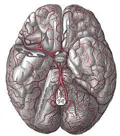 Виллизиев круг - артериальный круг головного мозга