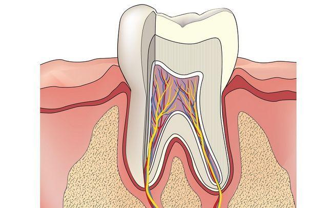 Structura dinților